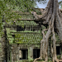a tree growing into a stone and moss-covered temple in Cambodia